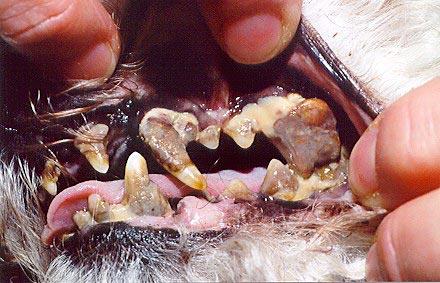 У собаки гной в деснах
